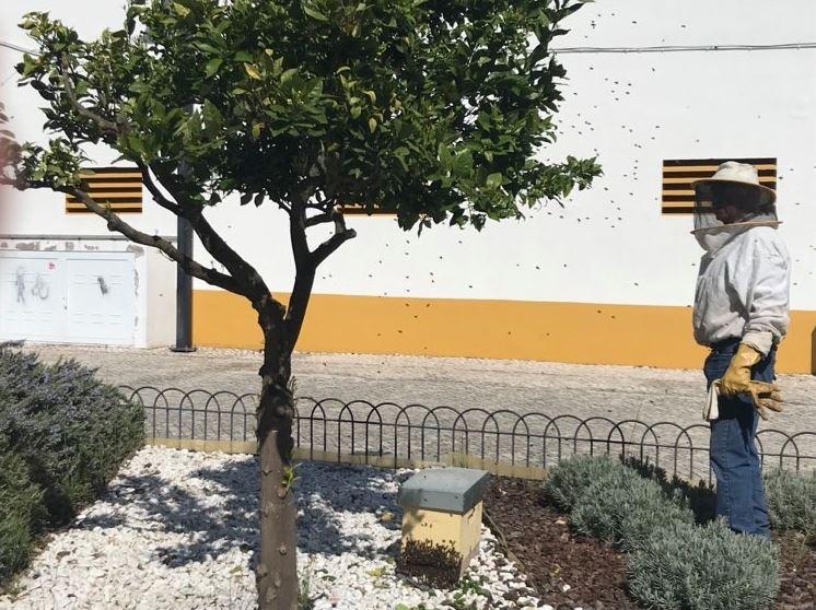 Apicultor captura ninho de abelhas no centro de Almeirim