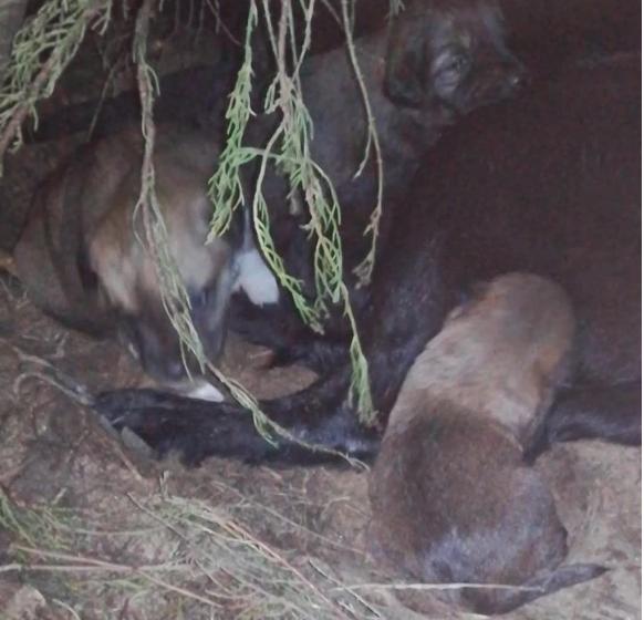 Cadela resgatada com 11 crias precisa de ajuda