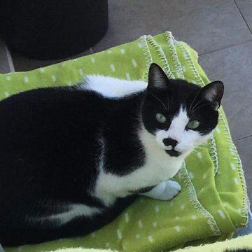 Gato desaparecido na zona do Talho do Bexiga