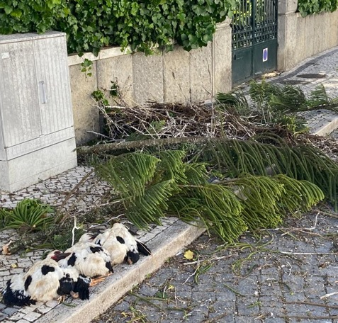 Árvore cai e mata três cegonhas