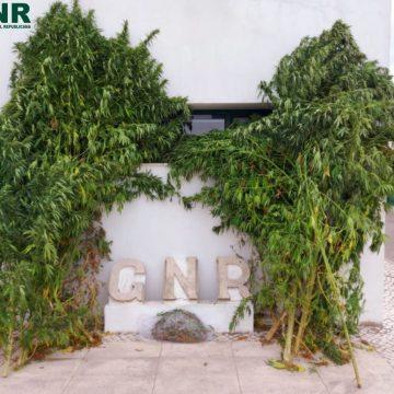 Homem com 62 anos detido por cultivo de canábis
